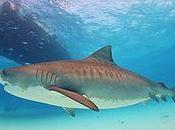 squali delle Isole Fiji
