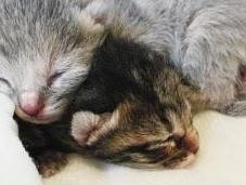 Ecco gattini appena nati