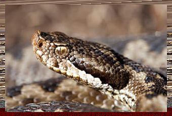 Scopriamo quali sono gli animali pericolosi sul gargano for Quali sono i rettili