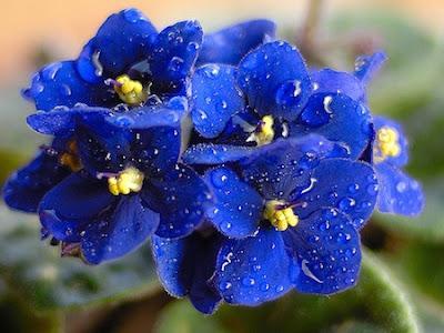 La violetta africana paperblog for Violette africane