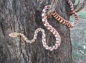 Topi avvelenati uccidere serpenti Guam