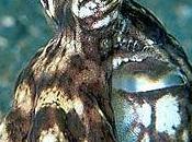 polpo Thaumoctopus mimicus stupisce straordinarie capacità mimetiche