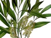 Tree oil, manna cielo!