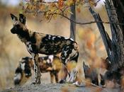 Licaone, nomade della savana