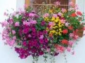 Come scegliere fiori balcone