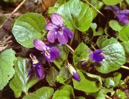 La violetta