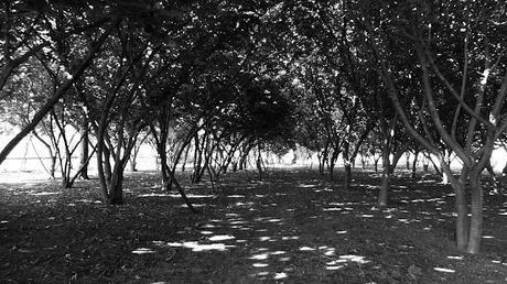 Foto / Noccioleto all'ombra del Vesuvio
