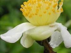 Fitoterapia Camellia sinensis verde) invecchiamento