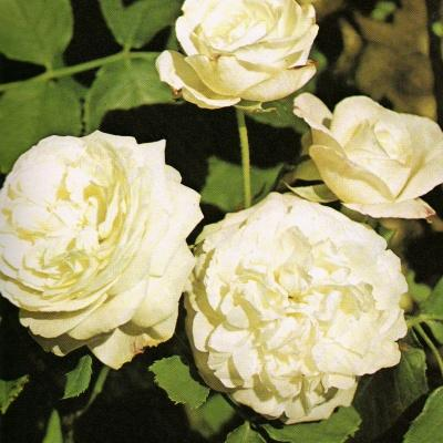Vecchie rose 2 gruppo rose bourbon paperblog for Fiori bianchi profumati