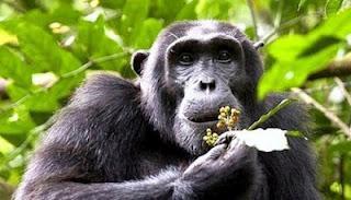 Scimpanzé usano foglie per combattere parassiti intestinali