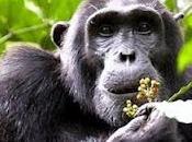 Scimpanzé usano foglie combattere parassiti intestinali
