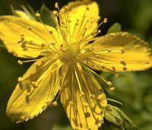 Olio di iperico: l'energia curativa del sole, contro ustioni e ferite
