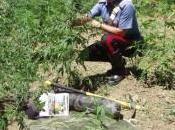 Crime News Reggio Calabria: carabinieri scoprono piante canapa indiana