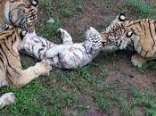 Tigri mangiano cucciolo tigre bianca (foto)