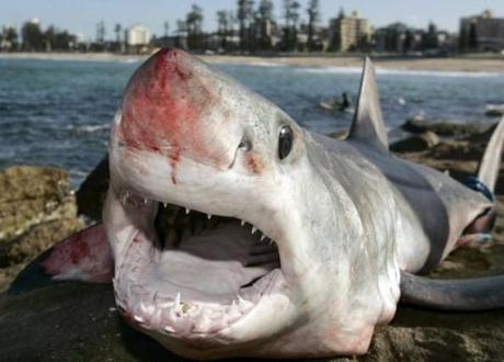 Agrigento: a San Leone pescato uno squalo Mako. In Sicilia arrivano gli squali?