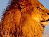 Leone, della savana