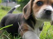 Green Hill, Libera all'Adozione Cuccioli Beagle