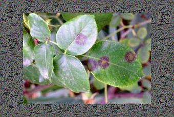 Malattie delle rose paperblog for Malattie delle rose