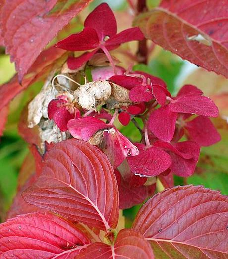 Le ortensie rosse the red hydrangea paperblog for Colore ortensia