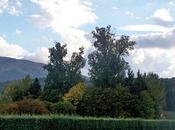 Alberi monumentali, pioppi bianchi L'Aquila