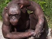 scimpanze' nudo