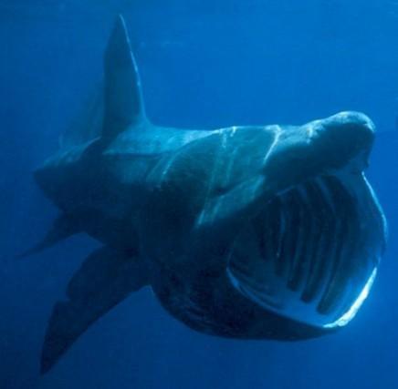 Orosei: a Su Barone avvistato uno squalo elefante