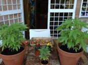 radicale Rita Bernardini pubblica Facebook foto delle piante marijuana!