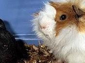 Esercizi genetica porcellini d'India aiutano capire leggi Mendel test cross