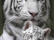 Mamma tigre, tigrotti...e coniglietto!