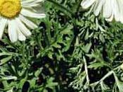 PIRETRO, insetticida naturale usare CAUTELA