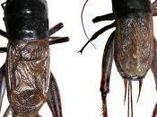 Gryllidae: Gryllus Quinquies Sidera