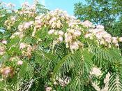 Acacia julibrissim