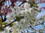 foto mandorlo fiore