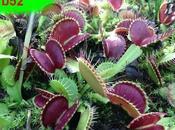 Piante carnivore disponibili, dionaea b52, drosera capensis, ecc...