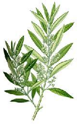 foglie olivo 2