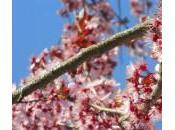 Prunus Pissardii tocco vinaccia giardino