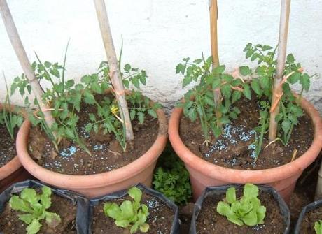 Coltivare pomodori paperblog for Piante pomodori in vaso