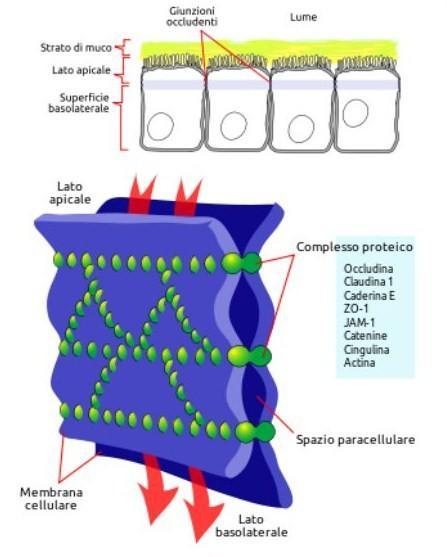 La sindrome della permeabilità intestinale, celiachia, sensibilità al glutine, spettro autistico, microtossine e tolleranza immunologica