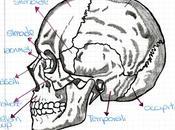 scheletro della testa