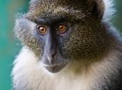 Album Famiglia Scimmie Vecchio Mondo: Cercopitecine