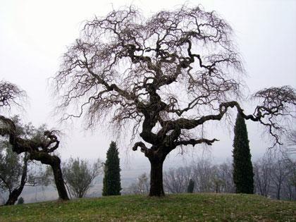 Foto di ben due alberi monumentali di notevole bellezza fotografati in