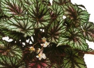 Begonia rex paperblog for Begonia pianta