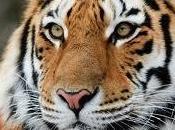Leone contro tigre vince?