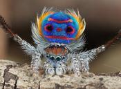 Incredibili fotografie ragno pavone australiano
