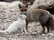 gatto volpe: l'amicizia bella quella improbabile