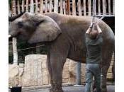 Inventario allo Dresda: inservienti misurano l'elefante