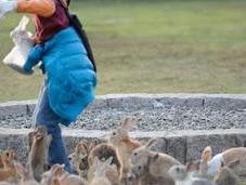 Ōkunoshima, l'isola conigli