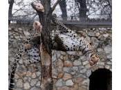 """Skopje, leoni leopardo prendono """"prede"""" volo"""