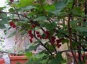 Ribes rosso terrazza