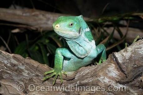 Fiji Crested Iguana